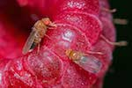Drosophila Susukii